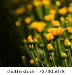 beautiful yellow flower blossom ... | Shutterstock . vector #737305078