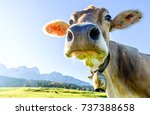 funny cow at the kaisergebirge... | Shutterstock . vector #737388658