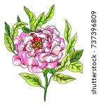 pink peony flower blossom. hand ... | Shutterstock . vector #737396809
