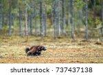 wolverine in wild nature.... | Shutterstock . vector #737437138