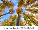 Autumn Beech Trees Crowns....