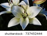 white lily   Shutterstock . vector #737452444