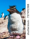 rockhopper penguin  patagonia ... | Shutterstock . vector #737491588