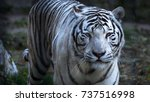 the white bengal tiger ... | Shutterstock . vector #737516998
