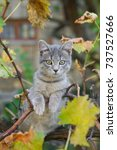 Stock photo little gray cat play on grapevine tree surrounded by autumn leaves 737527666
