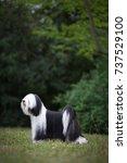 tibetian terrier | Shutterstock . vector #737529100