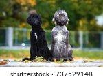 afghan hound | Shutterstock . vector #737529148