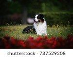 australian shepherd | Shutterstock . vector #737529208