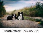 border collie | Shutterstock . vector #737529214