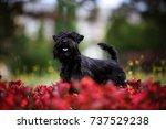schnauzer | Shutterstock . vector #737529238