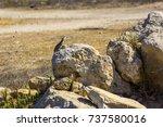 lizard on a yellow stone kato...   Shutterstock . vector #737580016