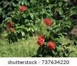 Forest Flower  Red Bush Willow...