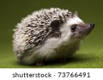 Stock photo hedgehog 73766491