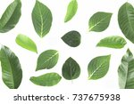 green leaves isolated on white... | Shutterstock . vector #737675938