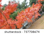 Small photo of Acer circinatum