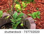 Small photo of Mexican Lime, Key Lime, Citrus x aurantifolia, dwarf thorny shrub, hybrid between C. micrantha and C. medica, with globose up to 5 cm across fruits, picked green, yellow when mature.Rind thinner.