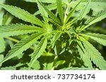 medical cannabis | Shutterstock . vector #737734174