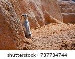 african meerkat next to a... | Shutterstock . vector #737734744
