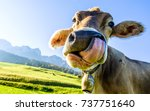 funny cow at the kaisergebirge mountain - stock photo
