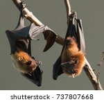 fruit bats | Shutterstock . vector #737807668