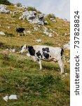 Small photo of Alpine Cows