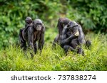 bonobo cub on the mother's back ... | Shutterstock . vector #737838274