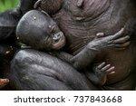 the sleeping cub  chimpanzee ... | Shutterstock . vector #737843668