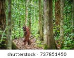 orangutans with cub. central... | Shutterstock . vector #737851450