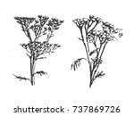 hand drawn tansy isolated on... | Shutterstock .eps vector #737869726