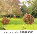 two brown hydrangea flower... | Shutterstock . vector #737875003