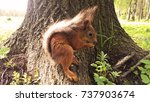 squirrel eats a nut standing on ... | Shutterstock . vector #737903674