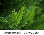 closeup of cypress tree branch... | Shutterstock . vector #737922154