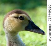 Small photo of Portrait of Muscovy Duck Hatchling (Cairina moschata)