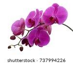 beautiful purple phalaenopsis...   Shutterstock . vector #737994226