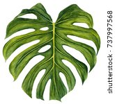 large green tropical monstera... | Shutterstock . vector #737997568