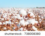 Cotton Fields Ready For...