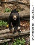 malayan bear in the nature...   Shutterstock . vector #738052174