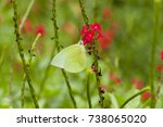 Small photo of Male Lemon Emigrant (Form-alcmeone) butterfly is feeding on red snakeweed (Stachytarpheta indica)