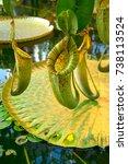 pitcher plant. carnivorous plant | Shutterstock . vector #738113524