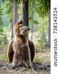 wild brown bears   ursus arctos ... | Shutterstock . vector #738143524