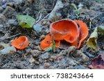 Small photo of aleuria aurantia fungus