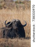 Small photo of African Buffalo Cape buffalo