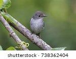 little pied flycatcher ficedula ...   Shutterstock . vector #738362404