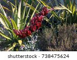 giant spear lily  doryanthes...   Shutterstock . vector #738475624