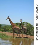 Adult Male    Young Giraffe At...