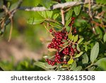 Wild Red Berry In The Forest....