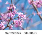 Eastern Redbud Flowering In...