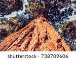 sequoiadendron giganteum  giant ...