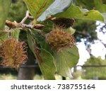 Horse Chestnut Tree  Throwley ...