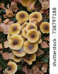Small photo of Clump of Honey Fungus in the forest. Armillaria mellea